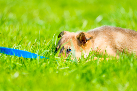tired puppy resting in the lush green grass on the lawn