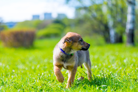 portrait of a guarded puppy on a background of green grass in a close-up park Stock Photo