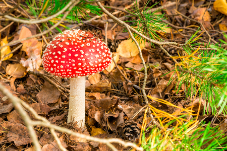Close-up of a beautiful and poisonous mushroom amanita in the forest