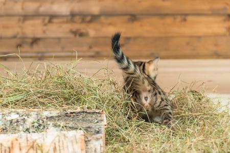 striped little kitten on dry hay, rear view