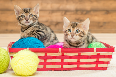 two kittens of bengali breed sit in a wicker basket, play with threads Stock Photo