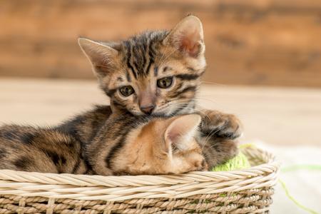 little brown striped bengal kittens in a wicker basket