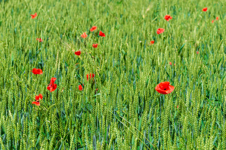 Beautiful red poppies grow in a wheat field among ears of corn Banque d'images