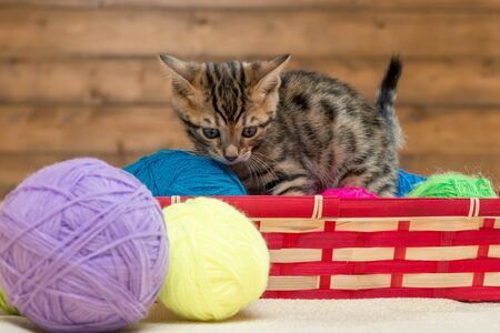 beautiful striped bengal kitten playing with threads in a basket