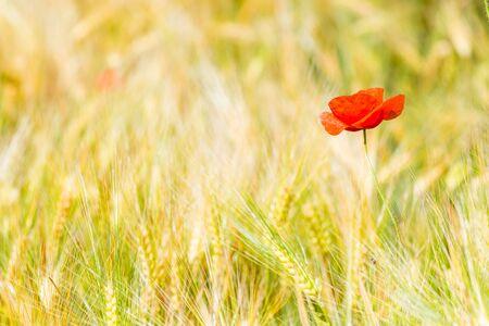 closeup of red poppy flower in yellow wheat field