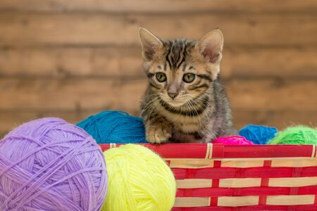 portrait of a Bengal kitten with balls of thread in a wicker basket Фото со стока