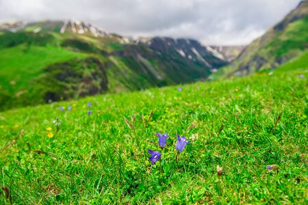 Closeup of purple flowers on a green meadow in the high mountains of the Caucasus