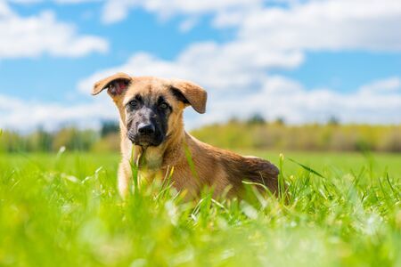 horizontal portrait close-up puppy lies resting on a green lawn in the park Imagens