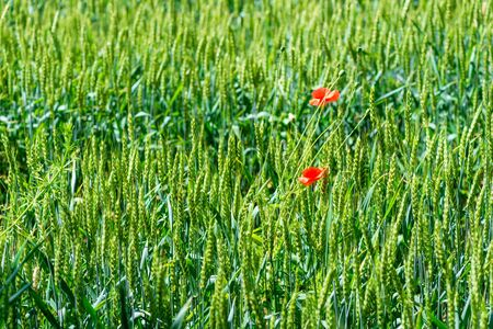 cereal ears in a field with growing poppy flowers