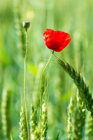 Vertical macro photo of a red poppy flower in a green field among wheat ears