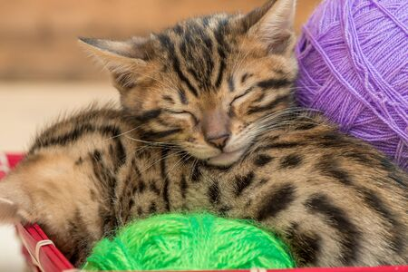 sleeping Bengal kittens with balls of thread close-up portrait