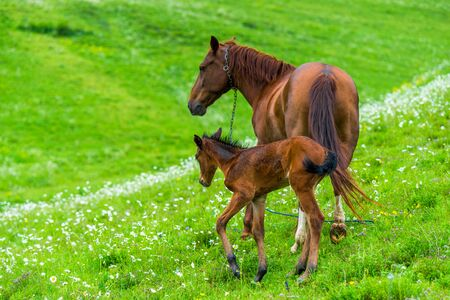 Couple - mum and foal graze on green juicy meadow on summer day