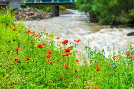 Red poppies on the bank of a wide stormy and fast river in the Caucasus Mountains