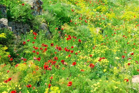 Beautiful summer field with blooming poppies closeup Stockfoto