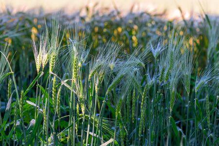 horizontal photo of growing ears of juicy wheat in a field Stockfoto