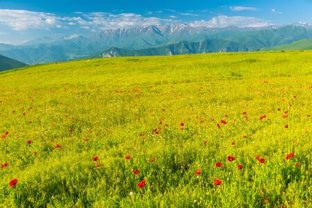 Beautiful poppy field blooming at the foot of high glaciers in the mountains of Armenia, summer landscape Stockfoto
