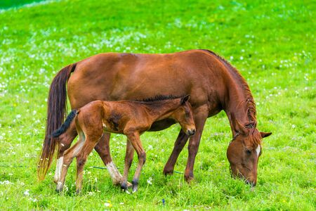domestic horse with foal graze on a green lush meadow in the Caucasus Mountains