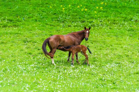 Brown beautiful horse feeding milk foal on a meadow in the mountains