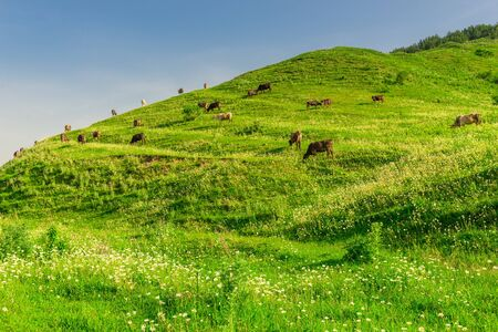 Green meadow on the mountainside, where a herd of cows grazes on a sunny summer day Stockfoto