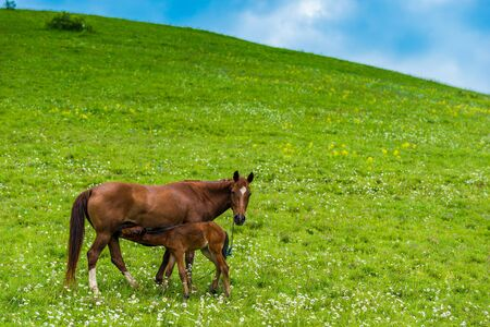 Brown horse on a green juicy meadow with a foalм
