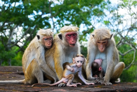 sigiriya: monkey family, two babies with parents at Sigiriya, Sri Lanka