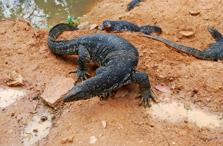 large lizards  Varanus salvator , native to Southern Asia near reservoir, top view, Sri Lanka photo