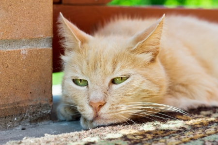 close up portrait of red cat outdoor in summer photo