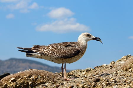 seagull is eating fish on the rock near sea Stock Photo - 21745541