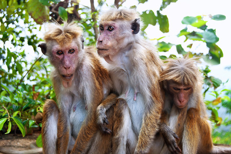 three animals: Famiglia scimmia da tre animali a Sigiriya, Sri Lanka