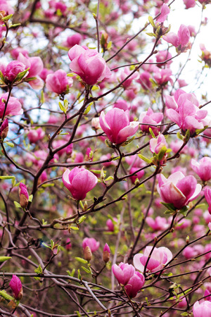 springtime: Blooming magnolia tree in springtime  Shallow depth of field   Stock Photo