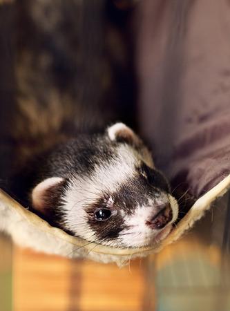cute ferret lying on its hammock, looking to camera