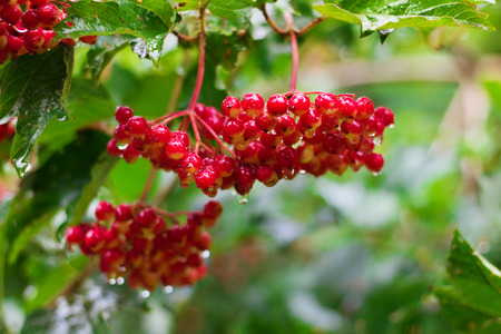 guelder: Bunch of Red Berries of Viburnum  Guelder rose  in garden after rain, soft focus