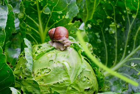 Garden snail  Helix aspersa  is sitting on cabbage in the gardenn, leaves with holes, eaten by pests