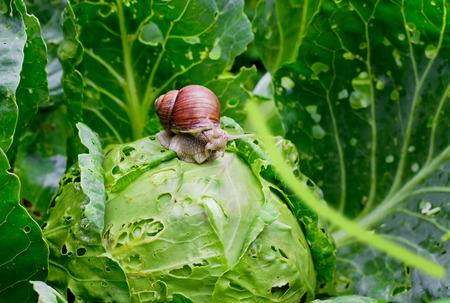caracol: Jardín caracol Helix aspersa se está sentando en la col en el Gardenn, las hojas con agujeros, comido por las plagas Foto de archivo