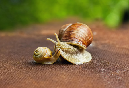 slithery: Garden snail  Helix aspersa  with small snail, the big snail is taking care about the little one Stock Photo