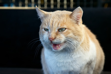 leer: Beautiful angry ginger cat bares its fangs outdoors
