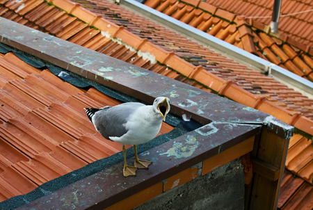 urbanite: One white seagull is sitting on a roof and screaming, Porto, Portugal Stock Photo