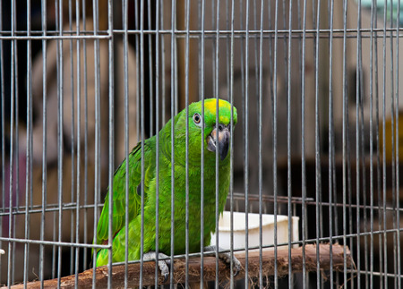 Big green parrot (Amazona) is sitting in the cage on pet market