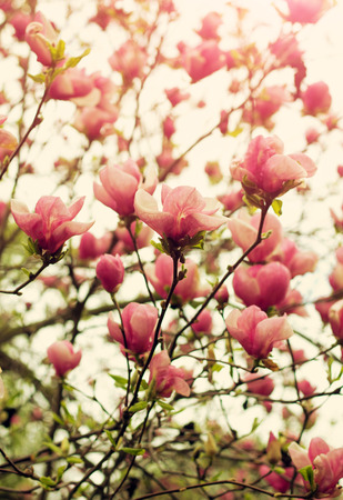 springtime: Blooming magnolia tree in springtime. Shallow depth of field, vintage toning