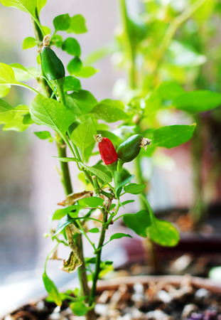 Capsicum annuum. Cultivation of red and green chili pepper on a windowsill, vegetable garden inside home photo
