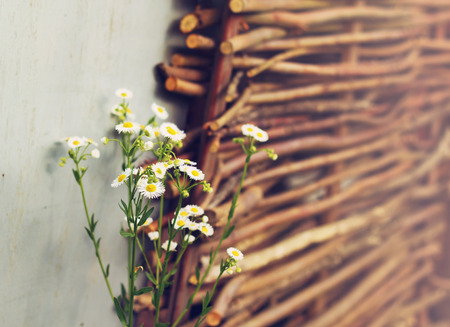 Field daisies on the wicker fence background in summer day, rural scene