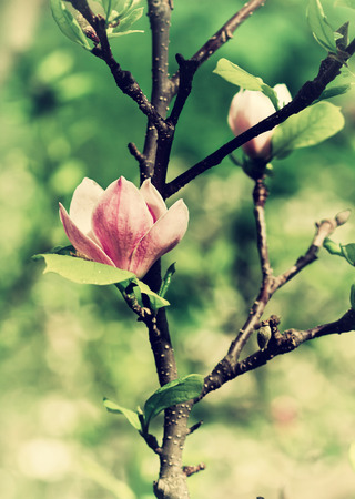 abloom: Abloom flower of magnolia tree in summertime