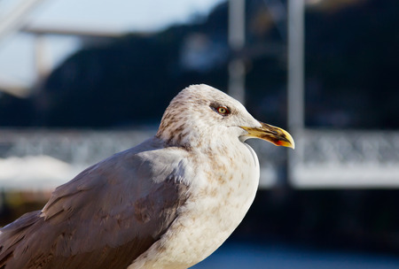 supervise: One white seagull is sitting on the background of Dom Luiz bridge of Porto, Portugal.
