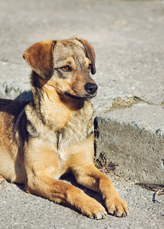 Lonely mongrel dog with sad eyes is laying and waiting someone on outdoors photo