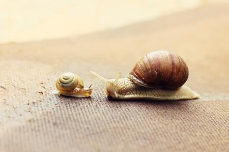 CARACOL: Caracol de jard�n (Helix aspersa) con peque�o caracol, el caracol grande es cuidar de la peque�a
