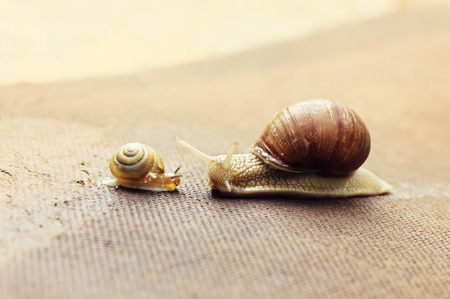 snail: Garden snail (Helix aspersa) with small snail, the big snail is taking care about the little one Stock Photo