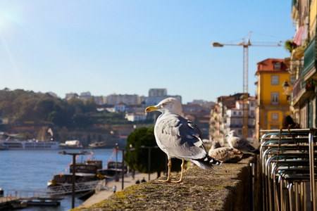 ribeira: Seagulls are sitting on waterfront Ribeira in Porto, Portugal.