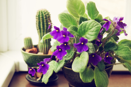 Potted African Violet Saintpaulia on the background of cactus, houseplants