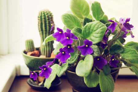 violeta: Violeta africana Saintpaulia en maceta en el fondo de cactus, plantas de interior