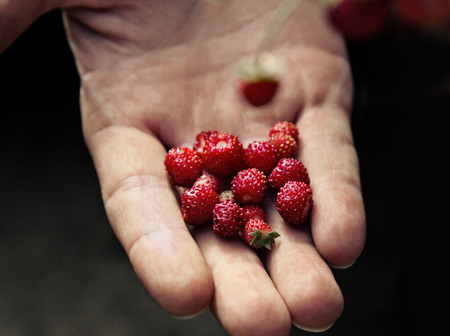 wild strawberry: Wild strawberry on hand